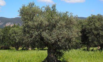 Estudios demuestran que las hojas de olivo tienen efectos anticancerígenos