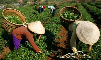 Factores determinantes para la calidad del té