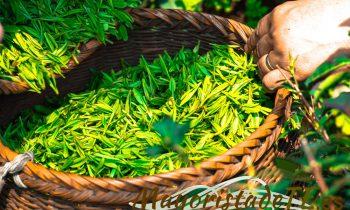 Té verde para combatir la artritis