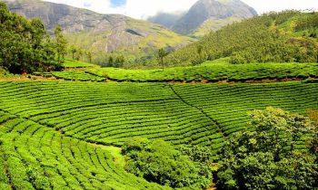 Origen y procedencia de los tés puros